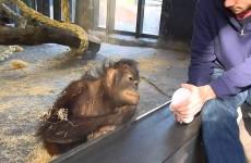 Co udělá opice, když ji předvedete kouzelnický trik? Tohle byste nečekali!