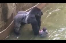 Dítě spadlo do výběhu gorily – bylo nutné zvíře zastřelit? Detailní záběry