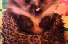Jak se krmí ježci? Takhle! :)