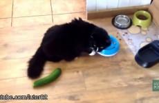 Kočky se bojí okurek, zelenina je dokáže vyděsit k smrti