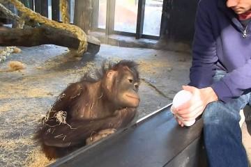 Opice a její reakce na kouzelnický trik