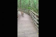 Panter na procházce na Floridě