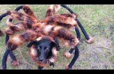 Pes převlečený za obřího pavouka děsil lidi na ulici k smrti!
