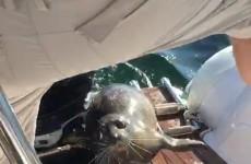 Tuleň si zachrání život skokem na rybářskou loď