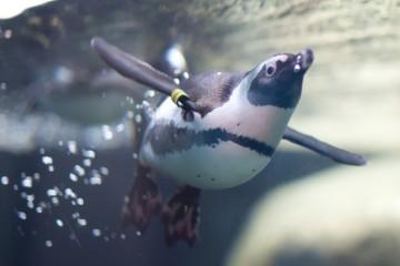 Živý přenos od tučňáků